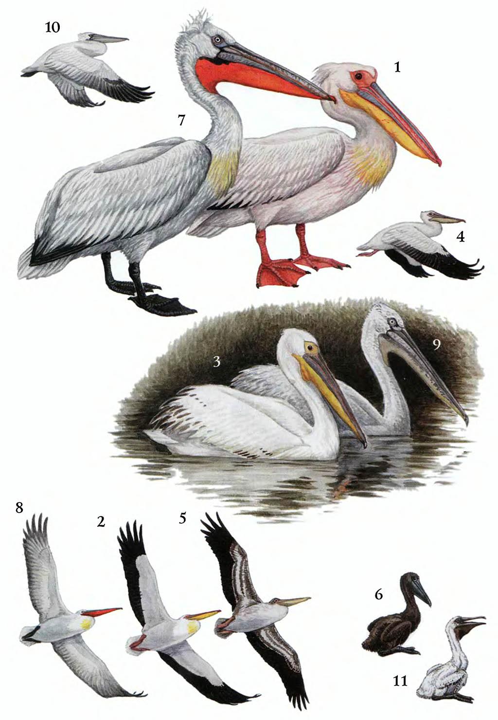Таблица №1 таблица i пеликаны